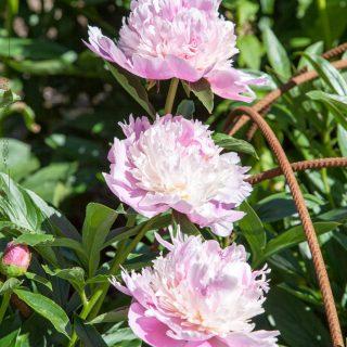 Paeonia lactiflora 'Mons Jules Elie'
