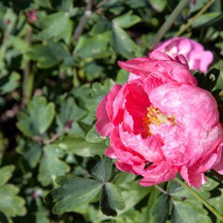 Paeonia hybr. 'Cytherea' - hybridpion