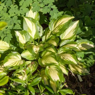Hosta 'Sea Thunder'