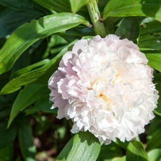 Paeonia lactiflora 'Klehm's Pink Unknown'