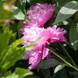 Paeonia lactiflora 'Pink Parfait'