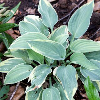 Hosta 'Grey Glacier'