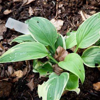 Hosta 'Mount Everest'