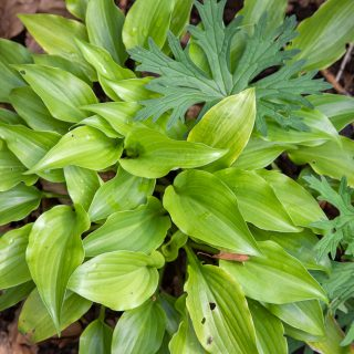 Hosta 'Glorious'