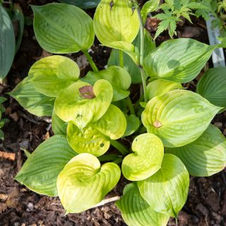 Hosta 'Mango Smoothie'