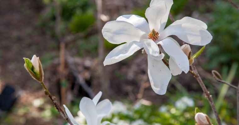 Magnolialistan med Ledvinahybrider