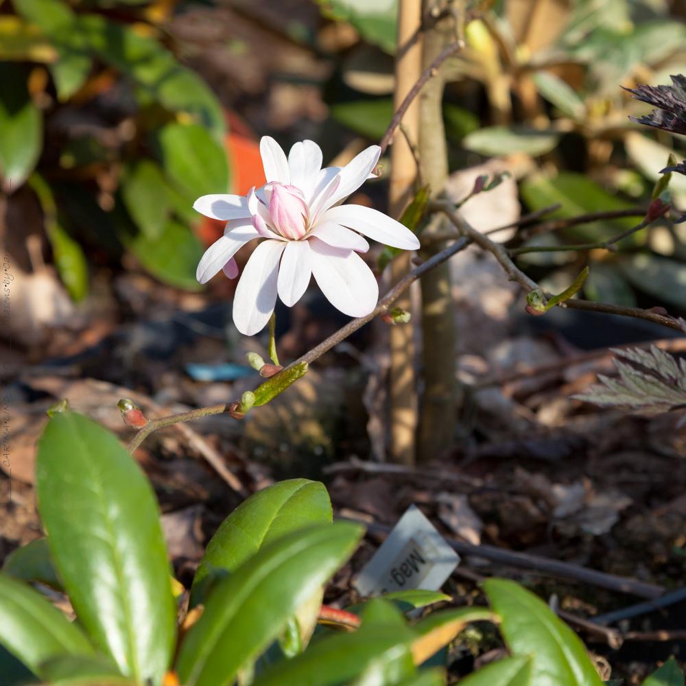 Magnolia stellata 'Chrysanthemumifolia'