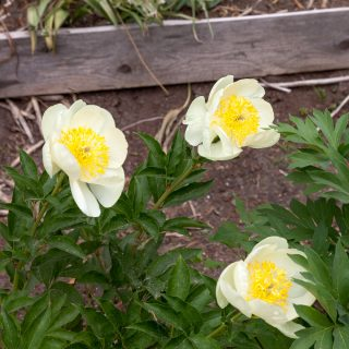 Paeonia hybr. 'Claire de Lune' - hybridpion