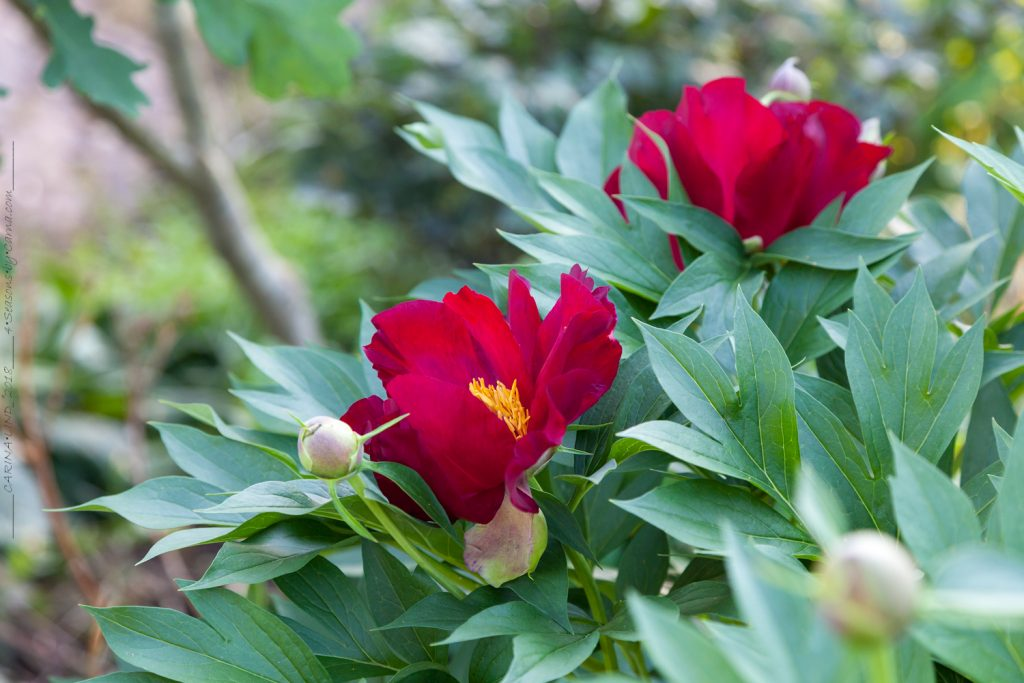 Paeonia itoh 'Scarlet Heaven - pion