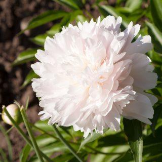 Paeonia lactiflora 'Madame Calot'