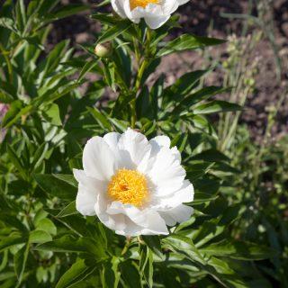 Paeonia lactiflora 'Nymphe'