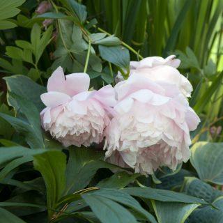 Paeonia lactiflora 'Mrs Franklin D Roosevelt'