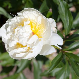 Paeonia lactiflora 'Marie Lemoine'