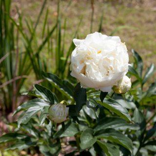 Paeonia lactiflora 'Le Cygne'