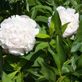 Paeonia lactiflora 'Nick Shaylor'