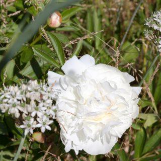 Paeonia lactiflora 'Elsa Sass'