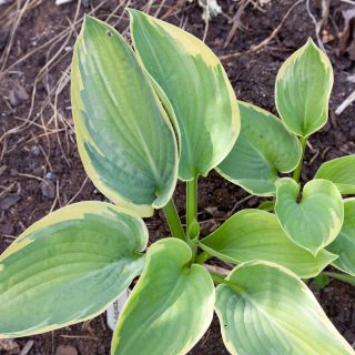 Hosta 'Hampshire County'