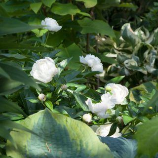 Paeonia lactiflora ' Amalia Olsen - luktpion