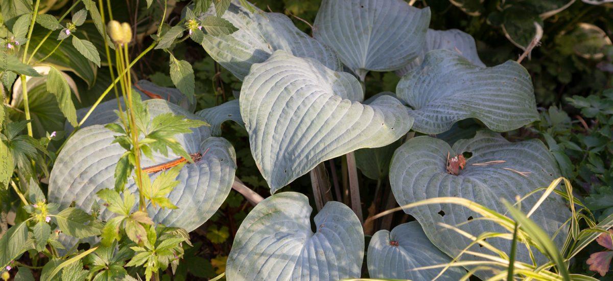 Medium Hosta – i min trädgård