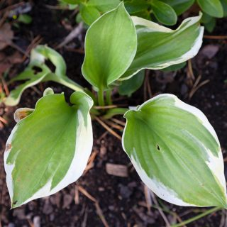 Hosta 'Silk Road'