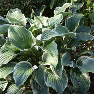 Hosta 'Regal Splendor'