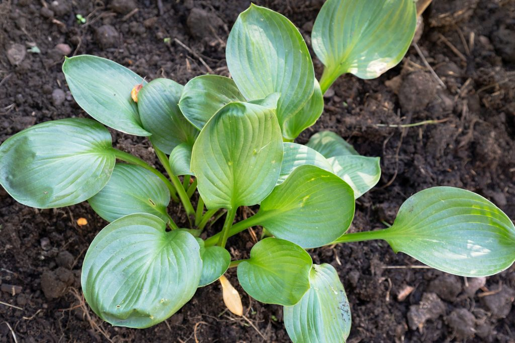 Hosta 'Lakeside Lollipop'