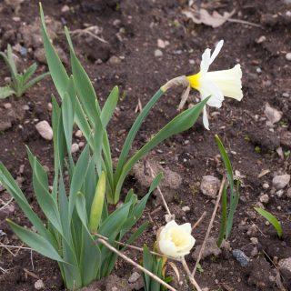 Narcissus pseudonarcissus 'Mount Hood' - påsklilja