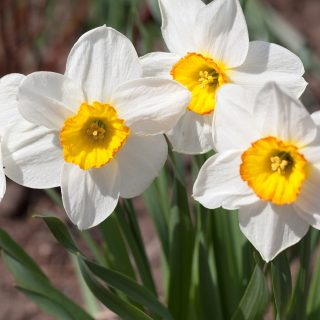 Narcissus x incomparabilis 'Flower Record'