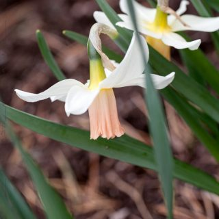 Narcissus Cyclamineus-grp 'Cotinga'