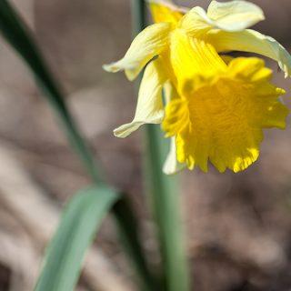 Narcissus pseudonarcissus 'Princeps'