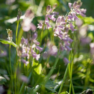 Hyacinthoides hispanica 'Queen of the Pinks' - klockhyacint