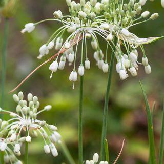Allium carinatum ssp. pulchellum 'Album' - dropplök