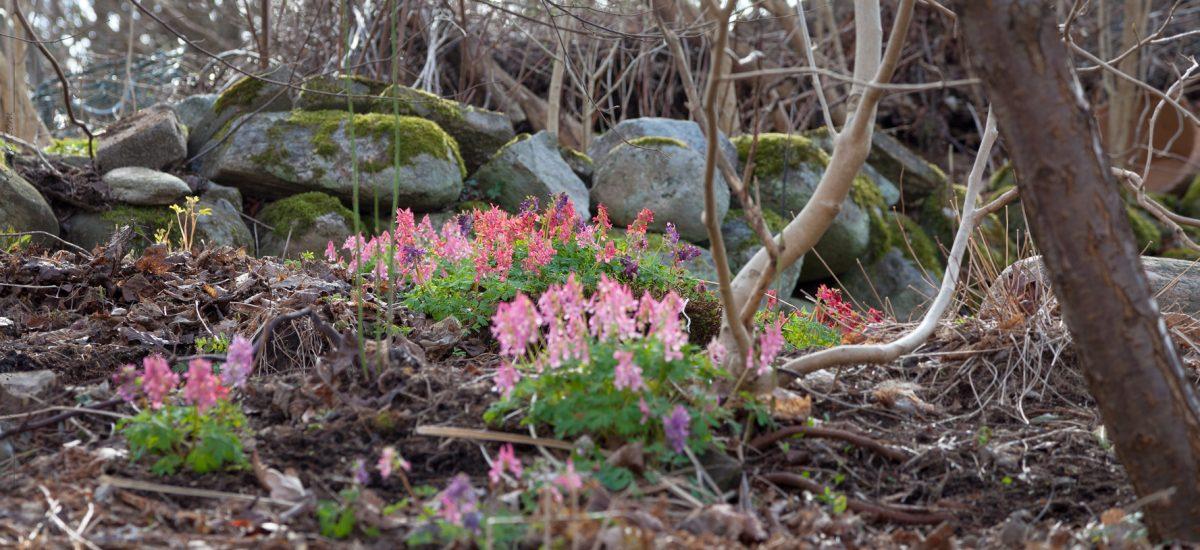 Corydalis – nunneörter för tidig blomning