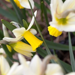 Narcissus Cyclamineus-grp 'Trena' - narciss