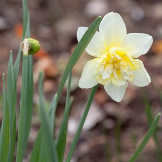 Narcissus x incomparabilis 'Ice King' - narciss