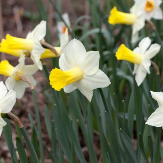 Narcissus x incomparabilis 'Ara' - narciss