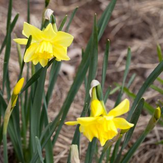 Narcissus Jonquilla-grp 'Pipit' - narciss