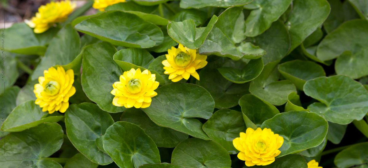 Ficaria – svalört små solar på våren