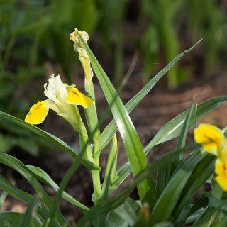Iris bucharica - gul junoiris