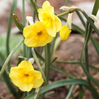 Narcissus Jonquilla-grp 'Sun Disc' - narciss