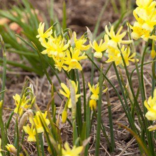 Narcissus Triandrus-grp 'Hawera'