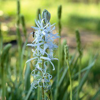 Camassia - stjärnhyacint, Camassia quamash - blek stjärnhyacint