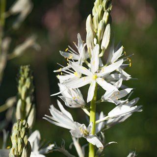 Camassia quamash - blek stjärnhyacint
