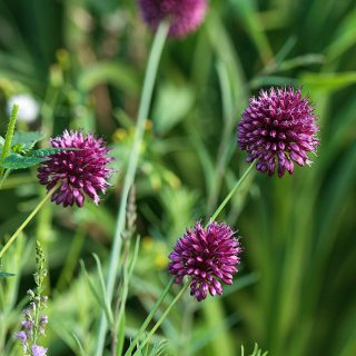 Allium sphaerocephalon - klotlök