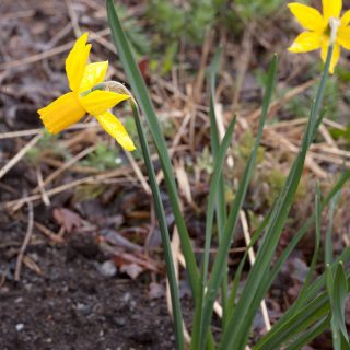Narcissus Cyclamineus-grp 'Golden Quince' - cyclamennarciss