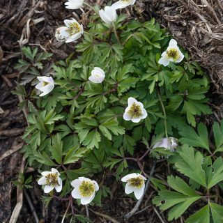Anemone nemorosa 'Green Fingers'