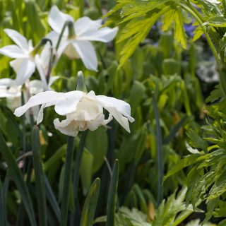 Narcissus Triandrus-grp 'White Marvel'