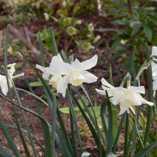 Narcissus Triandrus-grp 'Tresamble'