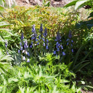 Hyacinthoides hispanica 'Excelsior' - klockhyacint