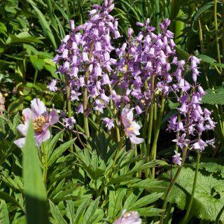 Hyacinthoides hispanica 'Miss World' - klockhyacint